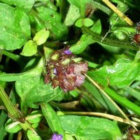 Controlling Lawn Weeds, Self Heal, Heal All