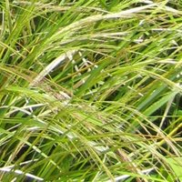 Grasses for Containers, Stipa tenuissima, Mexican Feather Grass