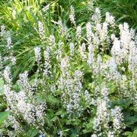 Tiarella cordifolia, Foamflower