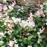 Trachelospermum Tricolor, the Variegated Star Jasmine, is a good climbing plant for sand