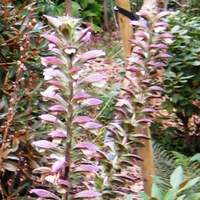 Acanthus spinosus, or Bear's Breeches, will grow in sandy soil