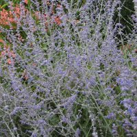Perovskia Blue Spire is a good plant for sand
