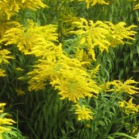 Solidago Goldenmosa, or Goldenrod, perennials for sandy soil