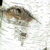 Betula utilis var. jacquemontii, Silver Shadow, Himalayan Birch