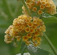 Shrubs for Chalk Soil, Buddleia weyeriana Sungold, Butterfly Bush