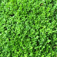Choosing Shrubs for Container Gardening, Buxus sempervirens, Common Box