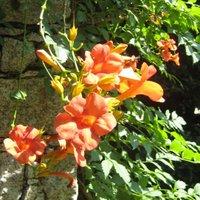 Climbing Plants For Acid Soil, Campsis tagliabuana Madame Galen, Trumpet Vine, Trumpet Creeper