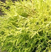 Shade Tolerant Trees, Chamaecyparis pisifera Filifera Aurea,