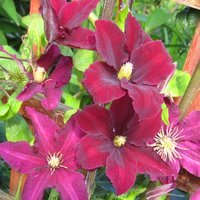 Clematis Niobe, climbing plants for sandy soil
