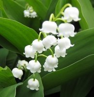 Perennials for Deep Shade, Convallaria majalis, Lily of the Valley