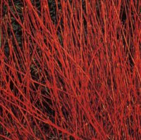 Shrubs for Clay Soil, Cornus alba Sibirica, Red-barked Dogwood