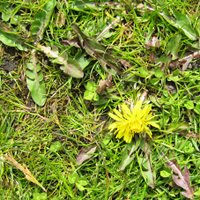 Controlling Lawn Weeds, Dandelions