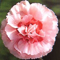 Chalk Loving Plants, Dianthus Doris, Pink