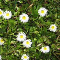 Controlling Lawn Weeds, English Daisy