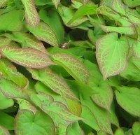 Epimedium rubrum, Barrenwort