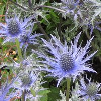 Eryngium bourgatti, Sea Holly, a good perennial for sandy soil