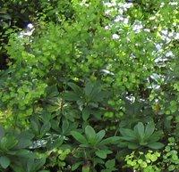 Euphorbia amygdaloides var robbiae, Wood Spurge, Mrs Robb's Bonnet