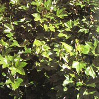 Container Plants, Fatshedera lizei, Tree Ivy