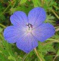 Perennials for Partial Shade, Geranium Johnson's Blue, Cranesbill