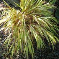 Choosing PlaHakonechloa macra Aureola, Golden Japanese Forest Grass, Hakone Grass