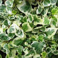 Hedera helix Caecilia, Common or English Ivy, will grow in sandy soils