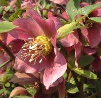 Plants for Partial/Light Shade, Helleborus orientalis, Lenten Rose