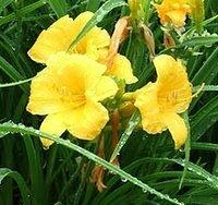 Hemerocallis Stella de Oro, Daylily