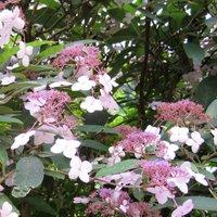 Hydrangea macrophylla, Hydrangea