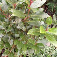 Good Container Shrubs, Laurus nobilis, Bay Tree, Bay Laurel, Sweet Bay