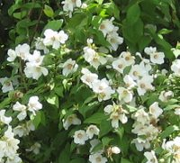 Flowering Shrubs for Chalk Soil, Philadelphus spp, Mock Orange