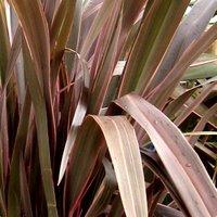 Phormium tenax, New Zealand Flax