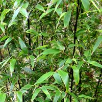 Choosing Plants for Container Gardening, Phyllostachys nigra, Black Bamboo