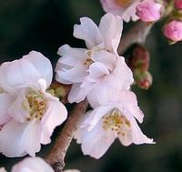 Chalk Loving Trees, Prunus subhirtella Autumnalis, Winter Flowering Cherry, Autumn Cherry