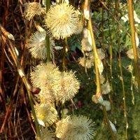 Salix caprea Kilmarnock, Kilmarnock Willow