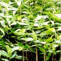 Bamboos for Containers, Sasa palmata nebulosa, Palm Bamboo