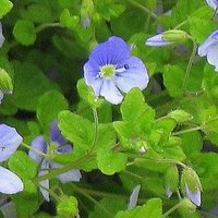 Controlling Lawn Weeds, Slender Speedwell