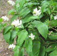 Smilacina racemosa,