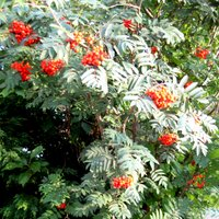 Sorbus aucuparia, Rowan, Mountain Ash
