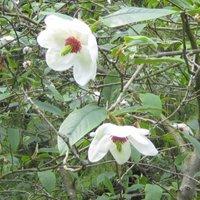 Stewartia malacodendron, Silky Camellia