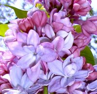 Syringa vulgaris Katherine Havemeyer, Lilac
