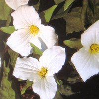 Perennials for Deep Shade, Trillium grandiflorum, Wake Robin