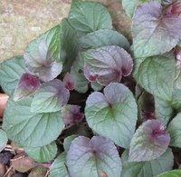Viola labradorica Purpurea,