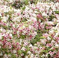 Clay Tolerant Shrubs, Weigela Florida Variegata