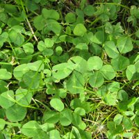 Controlling Lawn Weeds, White Clover