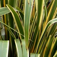 Container Plants, Yucca, Needle Palm